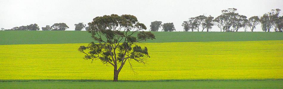Canola field with tree