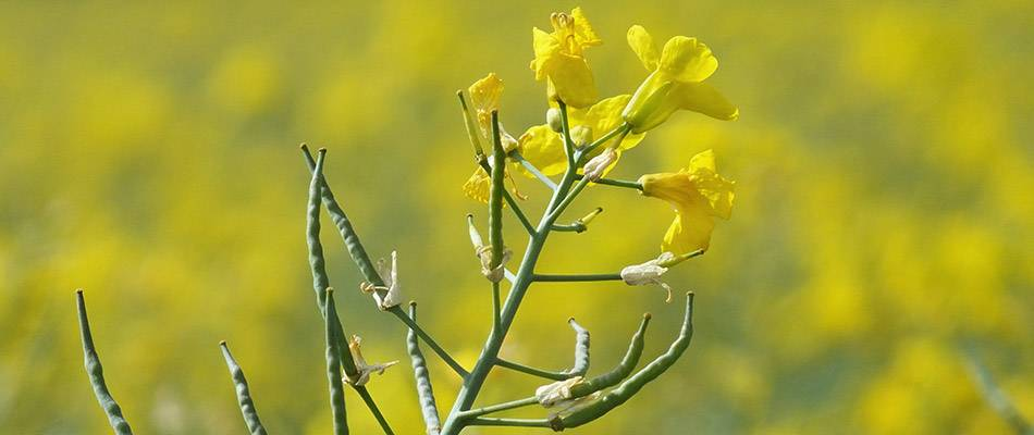 Canola flowers and seed pods