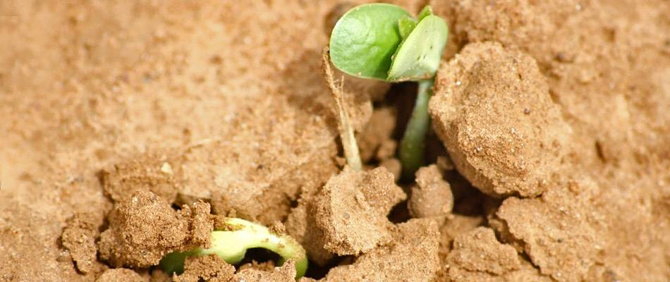 Soybean seedling pushing through the ground