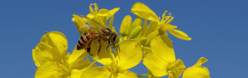 Bee pollinating canola flowers